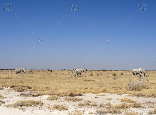 Africa- Namibia- Halali- Etosha National Park- savanna with a group of elephants walking