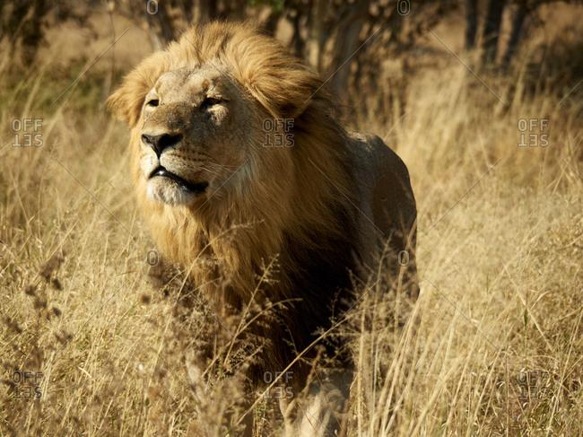 Africa- Botswana- Ihaha- Chobe National Park- Male lion in the savannah