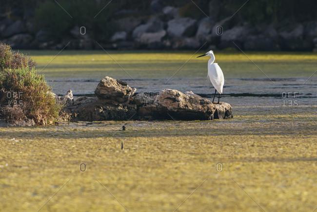 Snowy egret on rock by sea