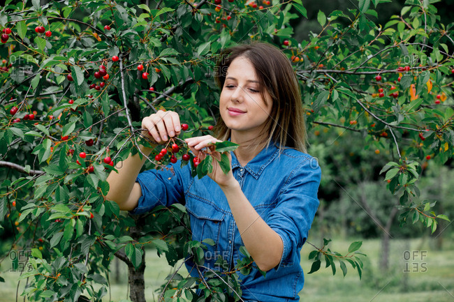 Young woman in a denim shirt gathering cherries from a tree