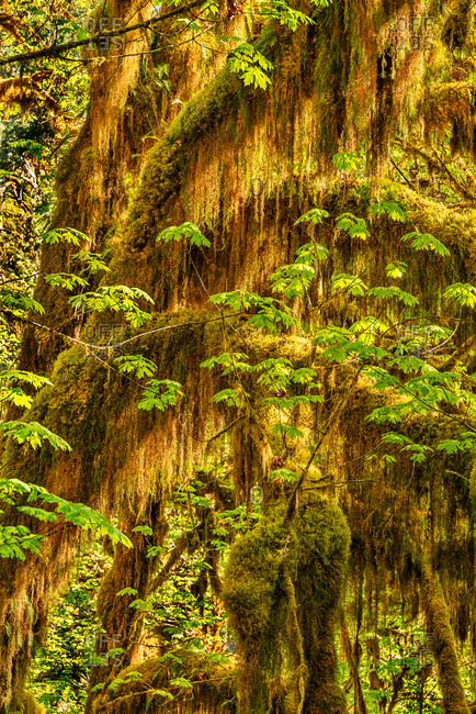 Hoh Rain Forest, Washington - Offset