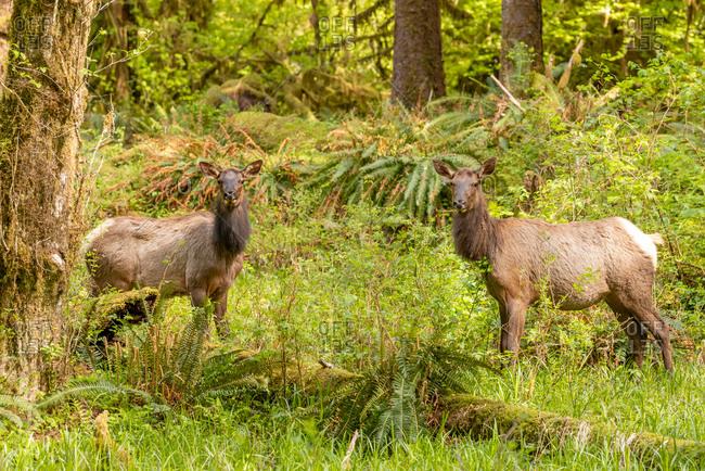 Two Roosevelt Elk