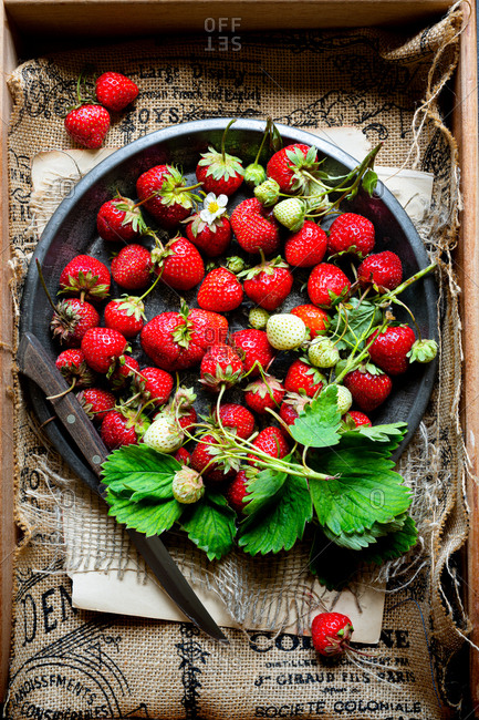 Freshly picked strawberries with leaves and flowers, in a vintage pie tin on a burlap background.