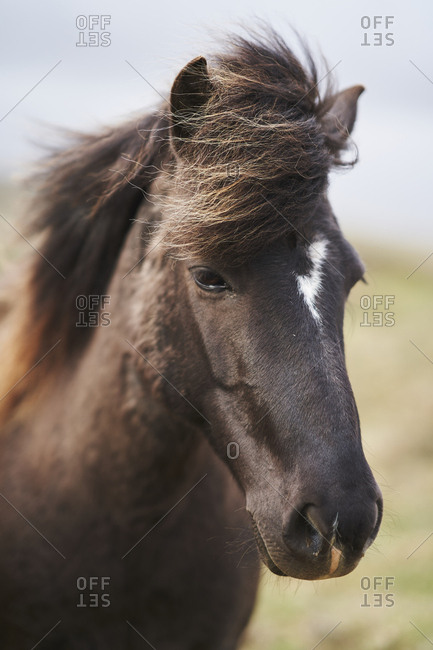 An Icelandic horse in summer