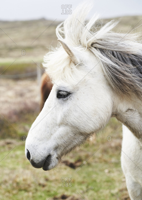 Profile view of a white Icelandic horse in summertime