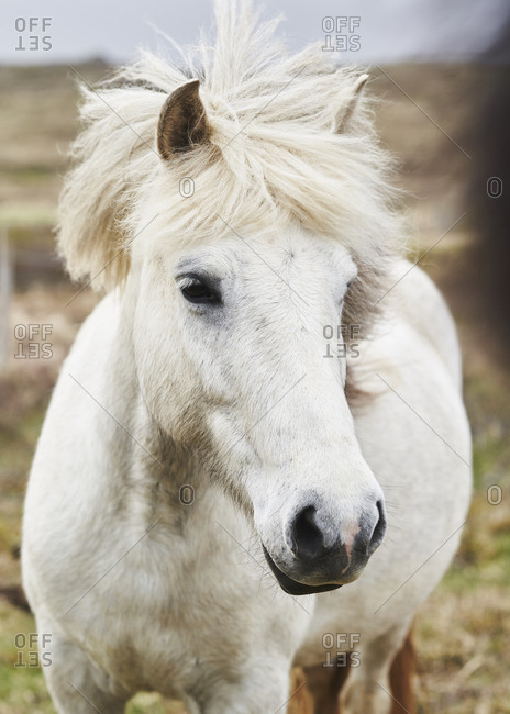 A white Icelandic horse in summertime