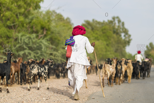 A shepherd from Rajasthan wearing traditional clothes and turban walking with his goats along a road
