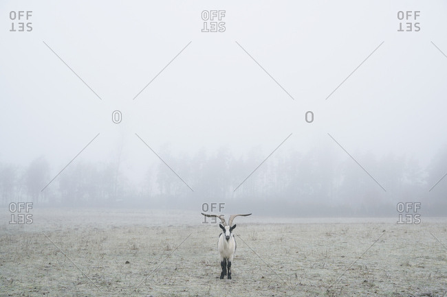 Peacock goat standing in foggy field, Wiendorf, Mecklenburg, Germany