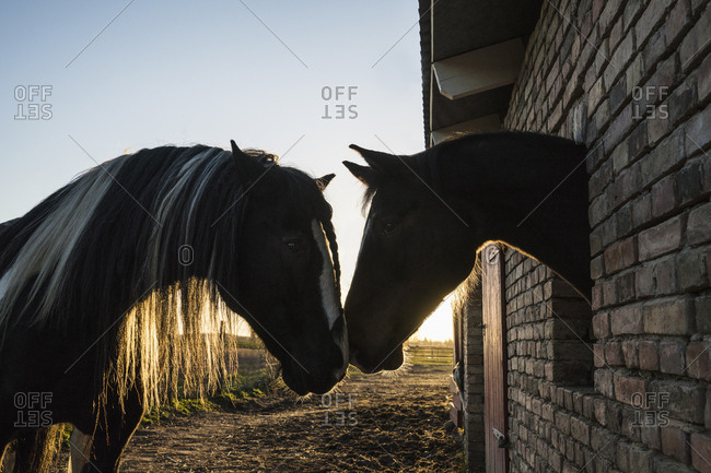 Affectionate horses face to face at barn window