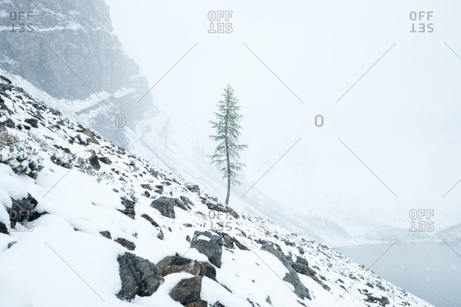 Lone tree stubbornly grows on rocky and snow-covered cliff with snowstorm swirling