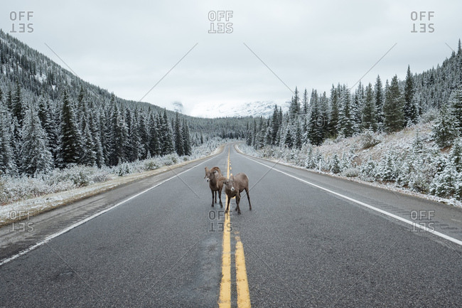 Big-horned sheep stand their groun on mountain road flanked by snow-tinged trees