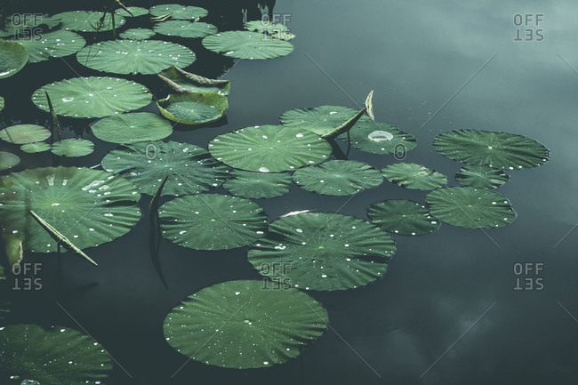 Lily-pads on pond- Wuppertal- Germany
