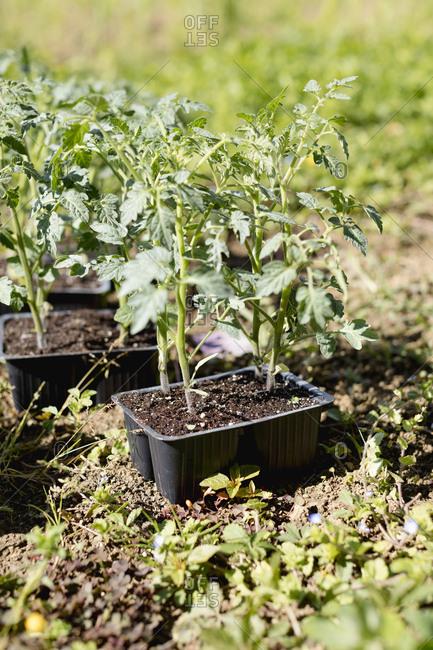 Vegetable Garden- Italy