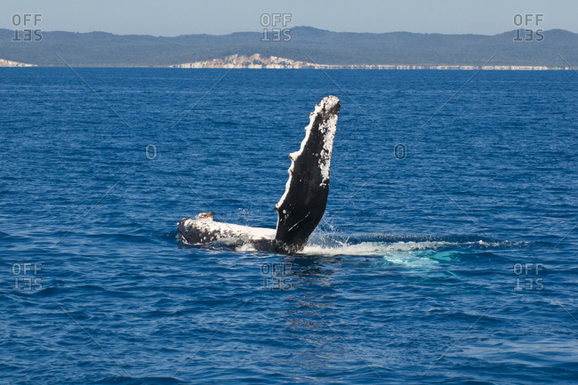 Humpback Whale- Megaptera novaeangliae- Harvey Bay- Queensland- Australia
