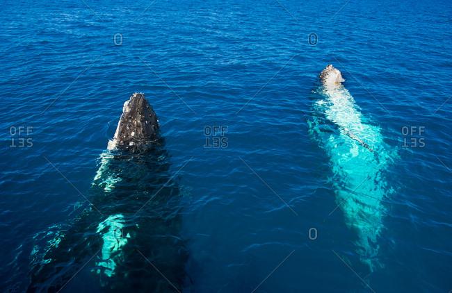 Humpback Whales- Megaptera novaeangliae- Harvey Bay- Queensland- Australia
