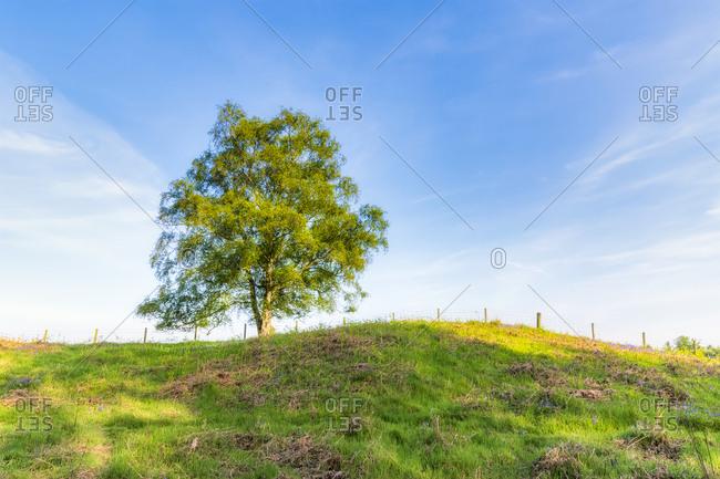 Single tree on hill- Perth- Scotland
