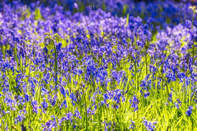 Bluebells flowering on meadow