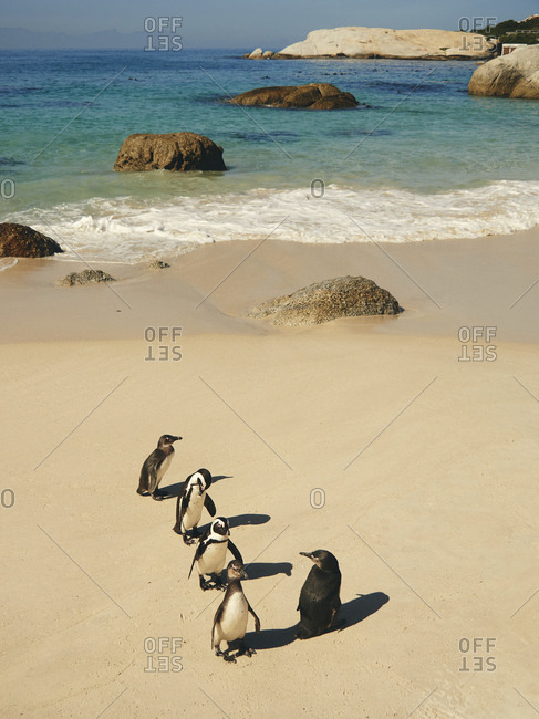 Five penguins on Boulders beach- Western Cape- South Africa