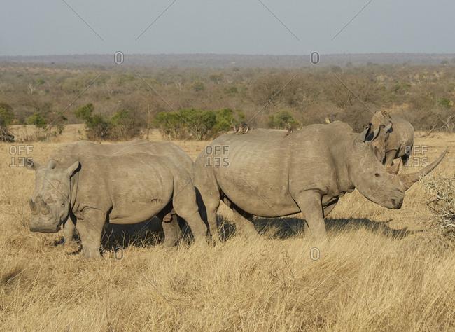 Group of rhinoceroses at the savannah- Kruger National Park- Mpumalanga- South Africa