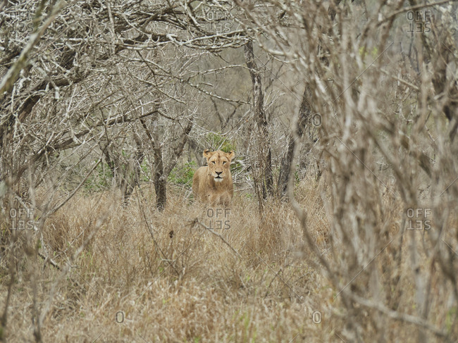 Lioness hiding in the bush- Kruger National Park- Mpumalanga- South Africa