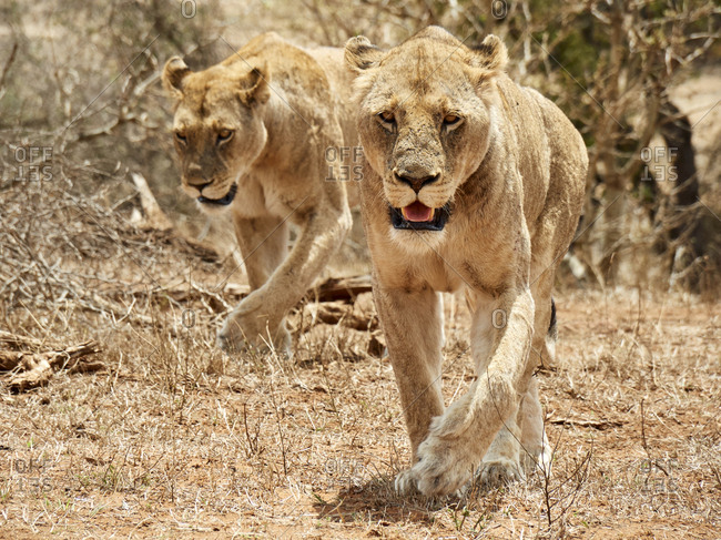 Two lionesses- Kruger National Park- Mpumalanga- South Africa