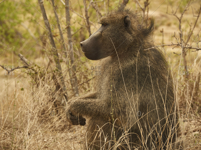 Profile of a baboon- Kruger National Park- Mpumalanga- South Africa