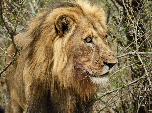 Portrait of male lion- Chobe National Park- Maun- Botswana