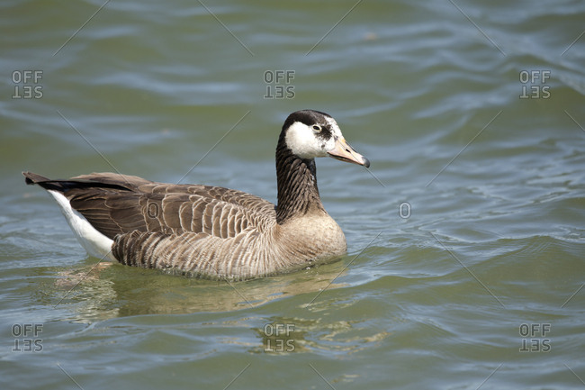 Canada goose and grey goose hybrid on Chiemsee- Bavaria- Germany