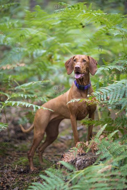 A Vizsla dog standing in Bourne woods near Farnham