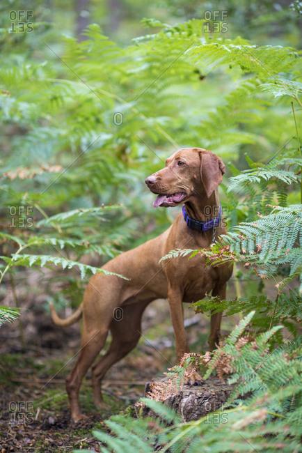 A Vizsla dog walking in Bourne woods near Farnham