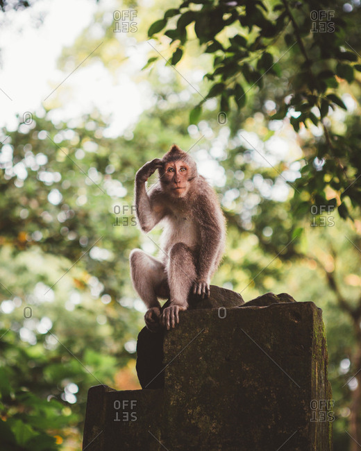 Hairy little macaque siting on stone fence in lush green tropical forest of Bali