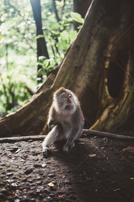 Hairy little macaque siting on stone ground in lush green tropical forest of Bali