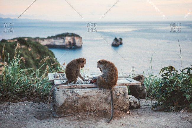 Small group of tropical macaques exploring fence on coastal cliff against ocean view in sunset, Bali