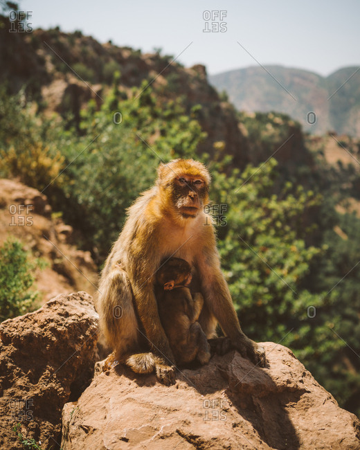 Furry macaque with small baby feeding on rock in tropical mountains of Morocco