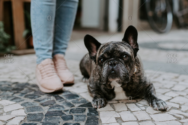 Cute adult bulldog lying on cobblestone pavement with crop owner standing near