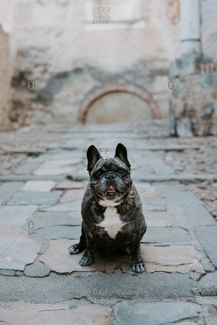 Big French bulldog with gray spots sitting on street pavement looking at camera
