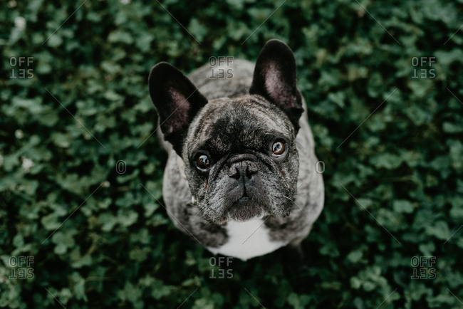 Big French bulldog with gray spots sitting on grass looking at camera from above