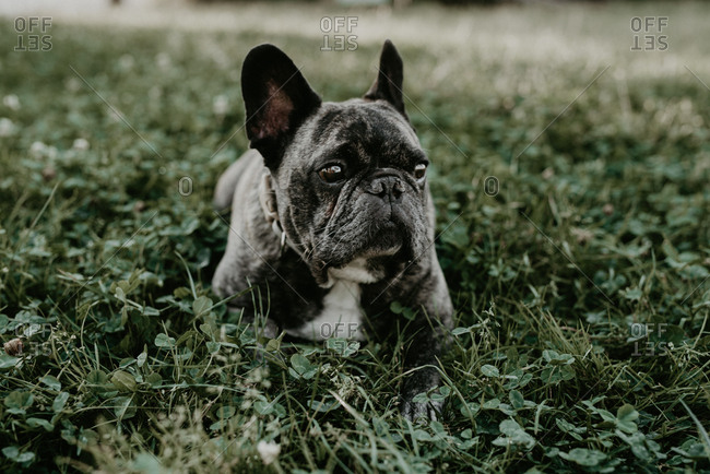 Big French bulldog with gray spots sitting on grass looking at camera