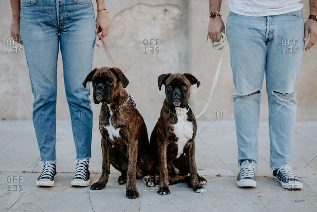Adorable elegant boxers standing on leash and curiously