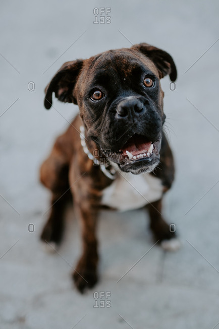 From above adorable boxer dog with amusing face sitting on pavement and waiting for team