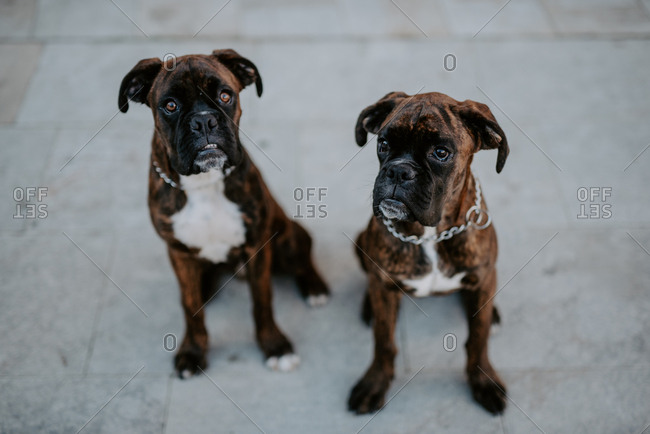 From above adorable boxer dogs with amusing faces sitting on pavement and waiting for team