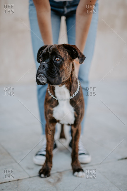 Adorable boxer dog with amusing face standing on asphalt and looking above
