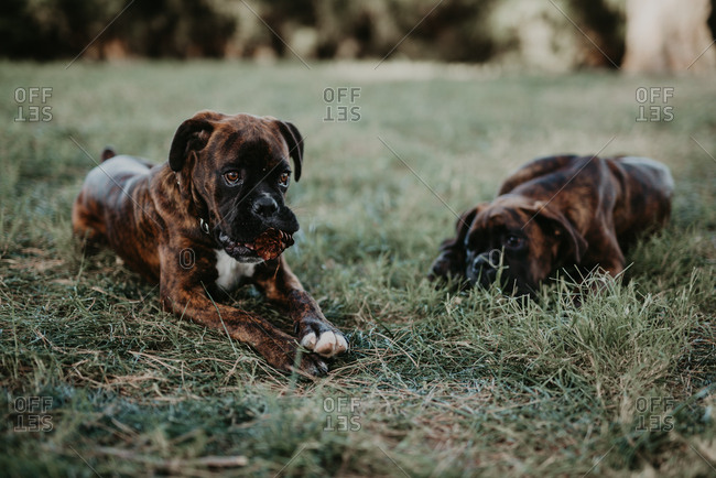 Adorable strong brown boxer dogs playing and laying in green lawn with cone