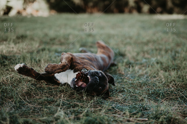 Adorable strong brown boxer dog playing and laying in green lawn with cone