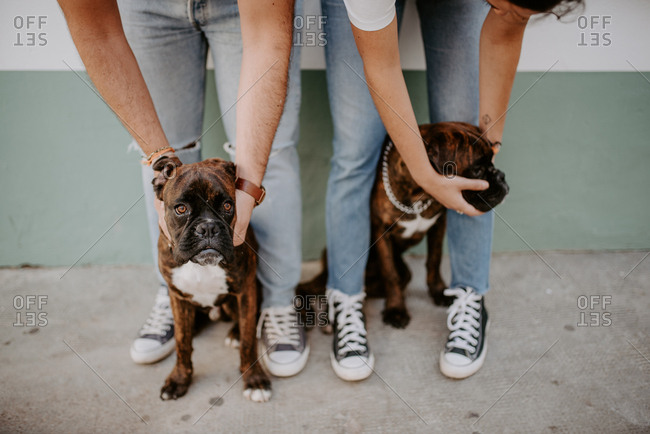 Adorable elegant boxers standing on leash and curiously looking at camera