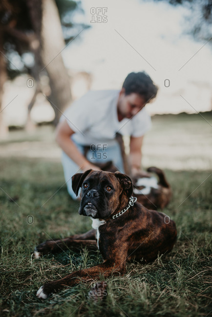 Adorable strong brown boxer dog laying in green lawn with blurred owner behind playing