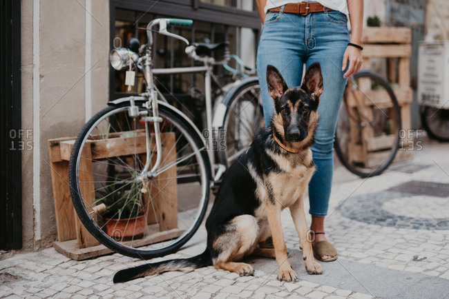 Cute german shepherd standing close bicycle on cobblestone pavement with crop owner standing near