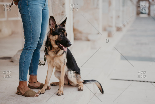 Cute german shepherd standing on cobblestone pavement with crop owner standing near