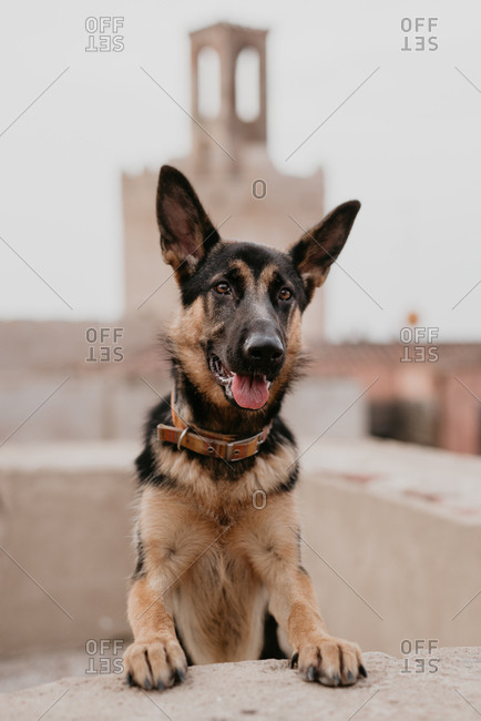 adult cute brown german shepherd standing in stone fence on street pavement looking at camera
