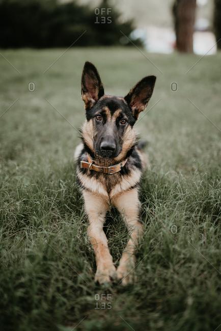 adult cute german shepherd sitting on grass of park looking at camera